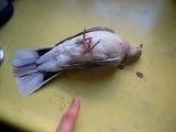 مرده یا زنده ( نهایت کلک و فریب در پرندگان )