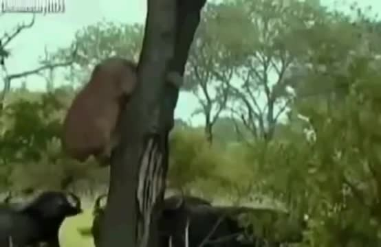 شیر سلطان جنگل مورد حمله قرار گرفته و کشته شد