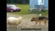 دعوای سگ و گوسفند برای تصاحب توپ