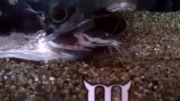 خورده شدن کت آفریقایی توسط ماهی بزرگ