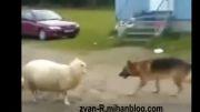 دعوای سگ و گوسفند برای گرفتن توپ
