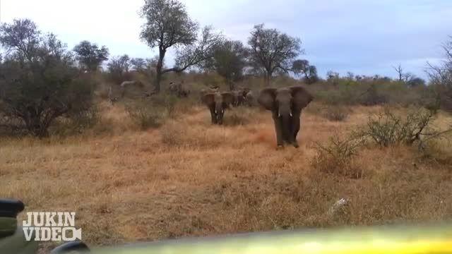 حمله فیل به جیپ گردشگران کلیپ از (JukinVideo)