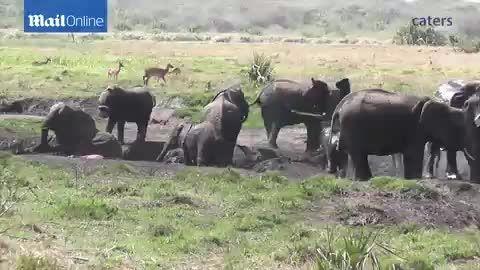 تلاش بچه فیل برای نجات مادرش از گودال گل