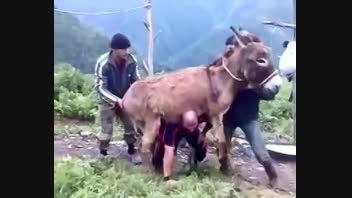 حماسه آفرینی هموطن با بلندکردن الاغ !