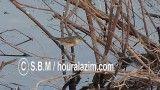 شکار حشرات توسط سسک بصره - تصویربردار: سید باقر موسوی / wwww.houralazim.com