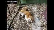 تا حالا همچین روباهی دیدی!!