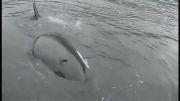 تقلید صدای قایق توسط نهنگ برای برقراری رابطه با انسان
