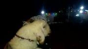 گوسفند قربانی پیرزن نجفی بر دوش زائر ایرانی تا کربلا