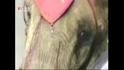 فیل قاتل و خشمگین و مهار با صد گلوله پلیس
