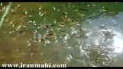 حوضچه پرورش ماهی زینتی
