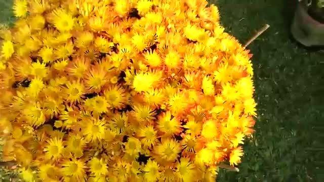 گل های زیبا و رنگارنگ هندوستان