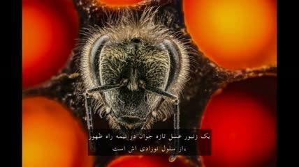 نگاهی هیجان انگیز به 21 روز اول زندگی زنبوران عسل
