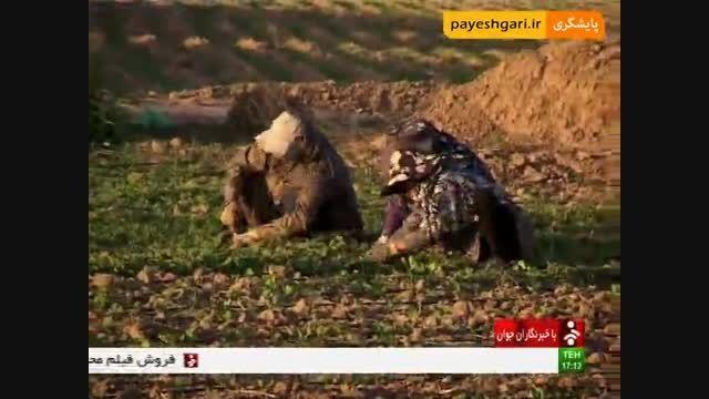 کشاورزان منتظر اعلام قیمت تضمینی