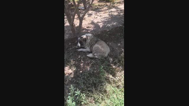 جنگ سگ سرابی چهارصدمیلیون ضرربه صاحبش زد،دعوای سگ سرابی