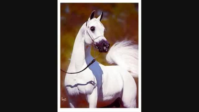 زیباترین اسب عرب در دنیا