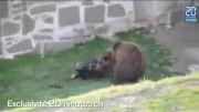 حمله خرس وحشی به یک مرد در سوئیس