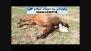 زایمان اسب ( کلیپ مشکلی ندارد ، اما زیر 15سال نبینند)