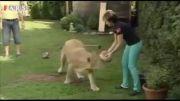 حمله شیر دستآموز به مهمان خانه