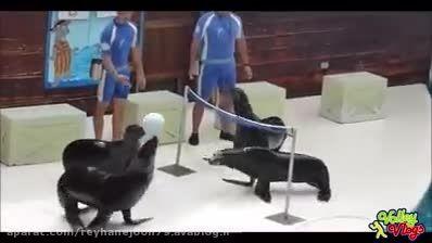 والیبال بازی کردن فک ها(جذاب)