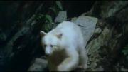 خرس سیاه با خز سفید