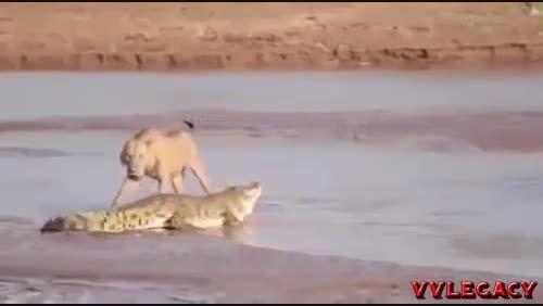 نبرد طبیعت:نبرد شیر و کروکودیل