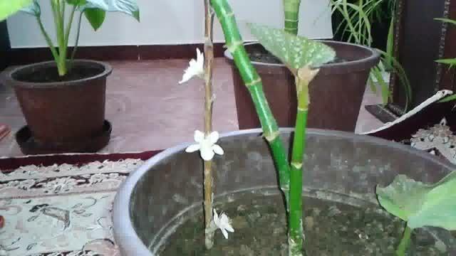گل دهی شاخه هرس شده، داخل گلدان