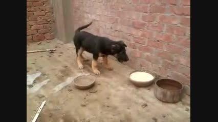 پارس کردن سگ  کوچولو