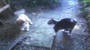 شكست دو سگ از گربه
