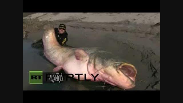 با بزرگترین ماهی خوراکی جهان آشنا شوید!