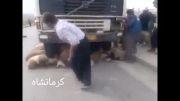 تصادف هولناک یک دستگاه کامیون با یک گله گوسفند کرمانشاه