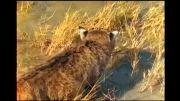 صید ماهی توسط گربه وحشی