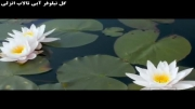 گل نیوفر مرداب انزلی