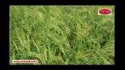 افزایش باردهی و کیفیت عالی برنج بدون سمپاشی و بدون آفت
