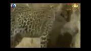 یوزپلنگی که عذاب وجدان گرفت..