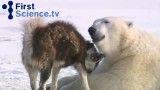 رفاقت عجیب خرس های قطبی با سگها