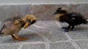جوجه اردک های من
