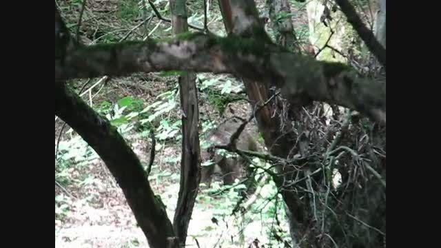 فیلمبرداری از دو خرس قهوه ای در مناطق جنگلی بهشهر