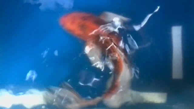 ماهی کوی فروش - 90