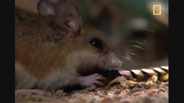 هزار پای غول پیکر و سمج علیه موش های فداکار - NatGeo