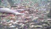 آهویی که شکارچی را گول زد