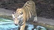 متفرقه : شنای ببر ها در باغ وحش | حیات وحش
