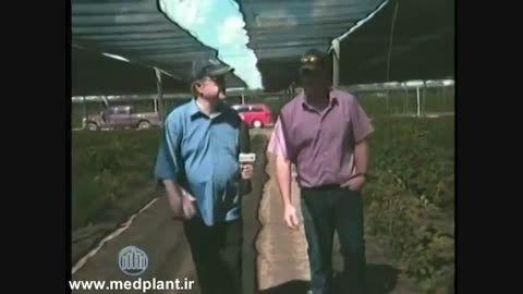 کاشت گیاه دارویی جین سنگ در آمریکا