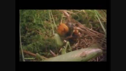 زنبور سرخ حشره ای مرگبار