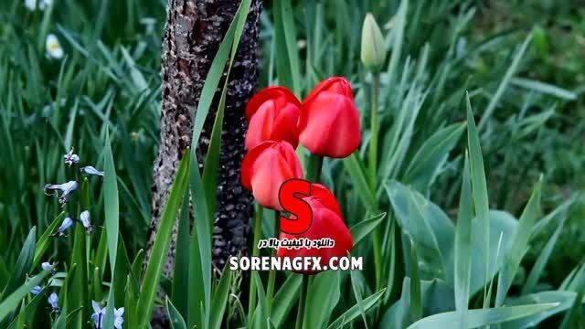 دانلود فوتیج با كیفیت و زیبا از گل لاله