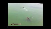 عکس العمل به موقع  شناگر را از دست تمساح نجات داد