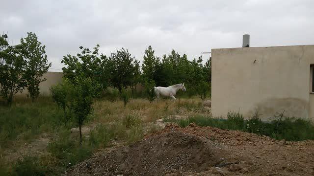 مادیان ترکمن یموت خالص