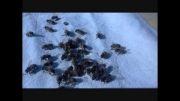 زنبورهای عسل مرده ای که زنده می شوند.