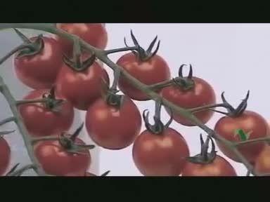 آموزش کشت گوجه فرنگی در گلخانه