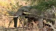تعامل بوفالو با فیل