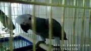 سرلاک خوردن جوجه کاسکو در پرنده فروشی دنیای منقارکج ها